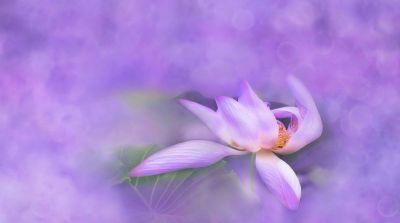 lotos purple small