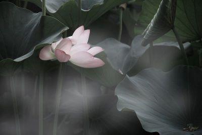 lotosovy kvet